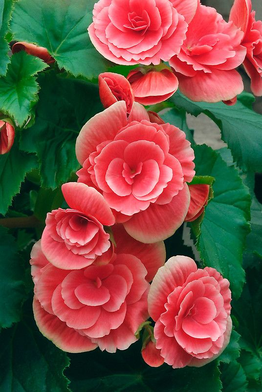 Double Begonia Flowers by Dency Kane