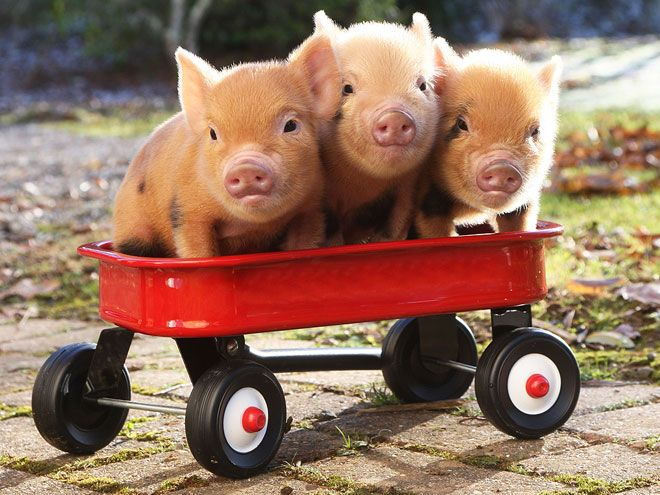 i know this is ridiculous, but gosh i want to play with a baby pig