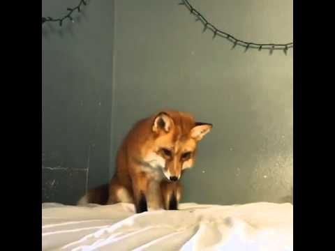Some positive emotions for the week! Fox is #hunting on a bed sheet! She's thinking it's the snow)) Positive results in everything to everyone for this week ! Yours sincerely, ProfiHunt https://youtu.be/95ovLSiUu6A For any questions or if you need #huntingtrips and #huntingtips , please, let us know and we'd be glad to be at your disposal: via http://www.profihunt.com/en/hunting_request.html Or you can subscribe to ProfiHunt newsletter on www.profihunt.com to get our news and specials…