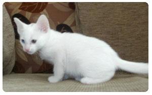 Khao Manee cat | Khao Manee Kittens - SnowTrees - the home of prestige pedigree cats