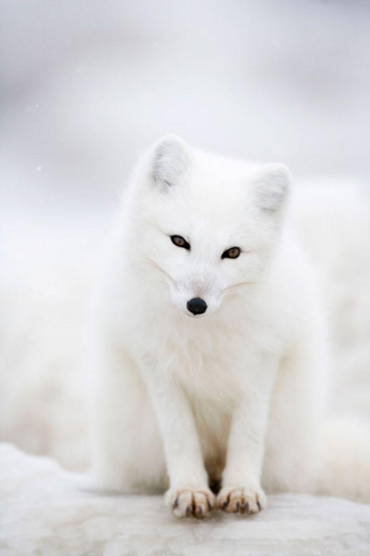 Blanc sur blanc : de sublimes photos dans l'intimité des renards arctiques | Buzzly
