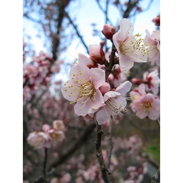 Image result for prunus mume