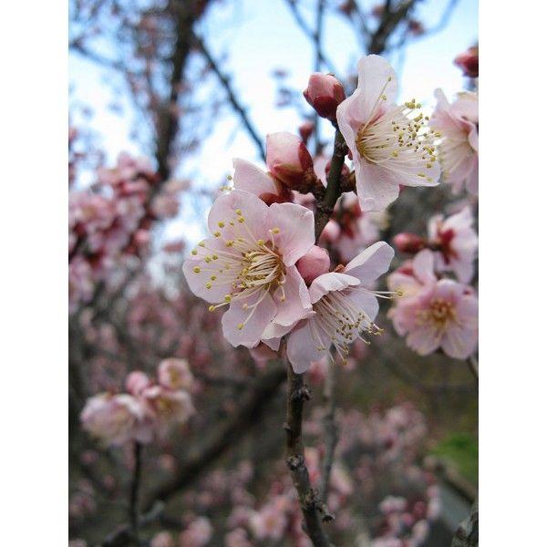 Prunus Mume (Abricotier Japonais)