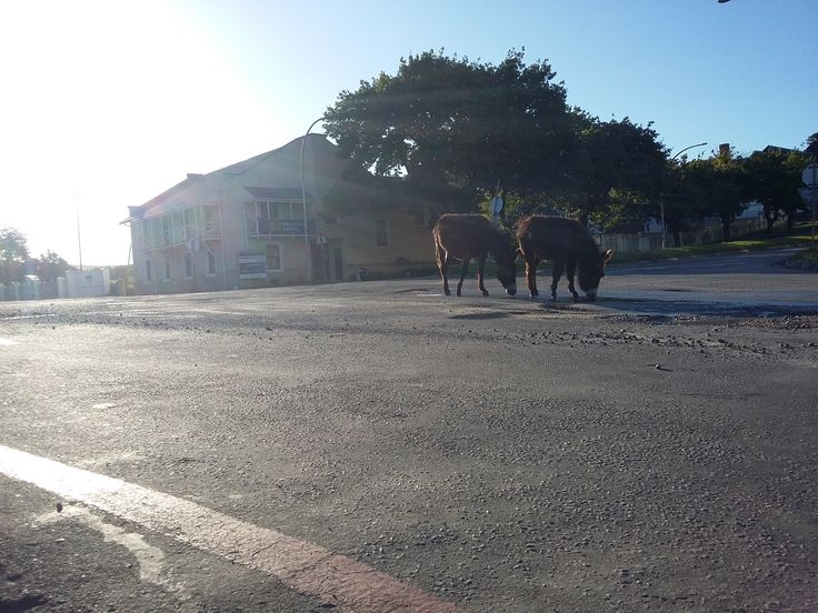 The famous donkeys of Grahamstown grazing the road. Bless them. Taken on the Corner of Somerset Street and African Street.