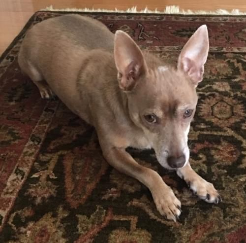 Adopt Mac On Dogs Animals Whippet Mix