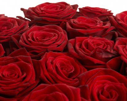 Обои Шикарные красные розы