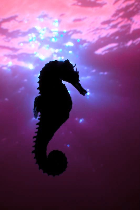 "Red Sea Horse - ""Beautiful red sea horse found at 90 feet.  Taken in Puerto Galera, Phillipines"" - Flicker"