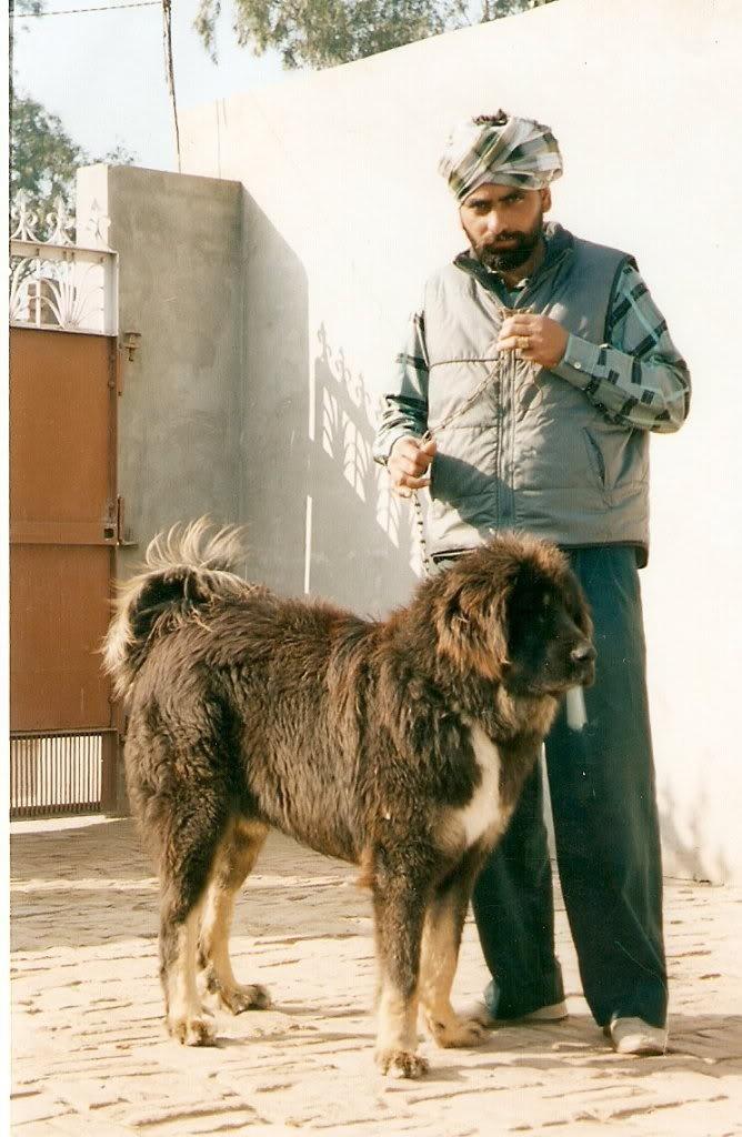 HIMALAYAN SHEEPDOG/HIMALAYAN MASTIFF Livestock guardian