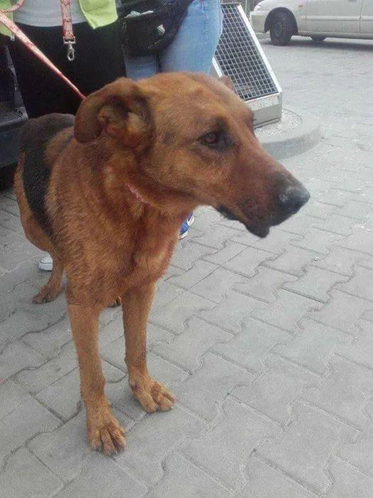 Poszukiwany Pies Zaginął W Radzionkow