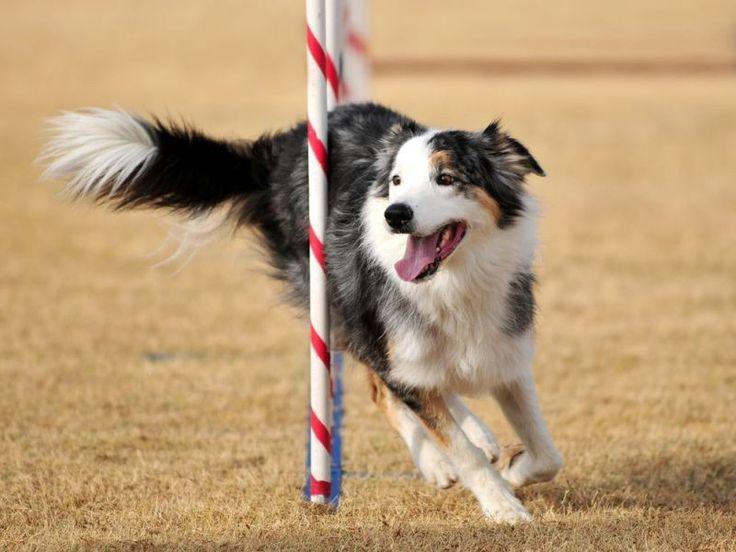 Border Collie: Der als Hirtenhund eingesetzte Vierbeiner schafft 49 km/h. — Bild: Shutterstock / K DeLong Photography    www.einfachtierisch.de