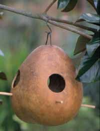 Bird feeders will hang from my trees.  A DIY project from start to finish.  Sow the seed, grow, harvest, and dry a gourd to create this wonderful hanging bird house and feeder.