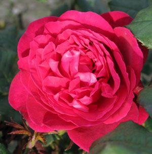 Johan Wolfgang von Goethe/ Tan 4179 grupp ej angiven 90-120 cm, 3 st / meter, (3-5 i grupp) remonterande Zon 3 liknar Engelska rosor och går bra med dessa Mognar till purpur