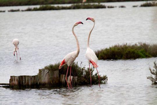 #Flamingos in our #nursery in Comacchio (FE) - #ITALY  #Fenicotteri nel nostro #vivaio di Comacchio (FE) - ITALIA #romantic #love #life #nature #naturelovers #water #wood #plant #baumschule #pepiniere #natura #earth