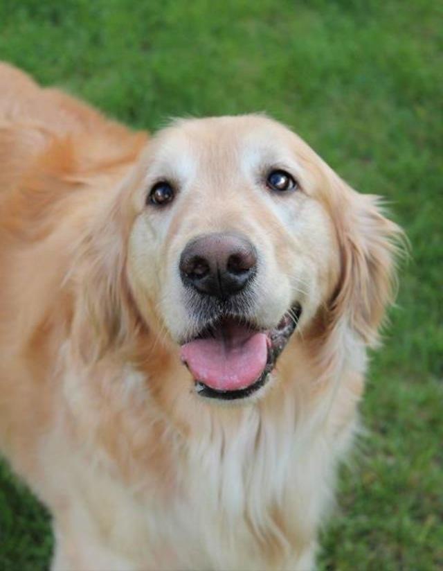Beautiful Golden Retriever | Dogs | Pinterest