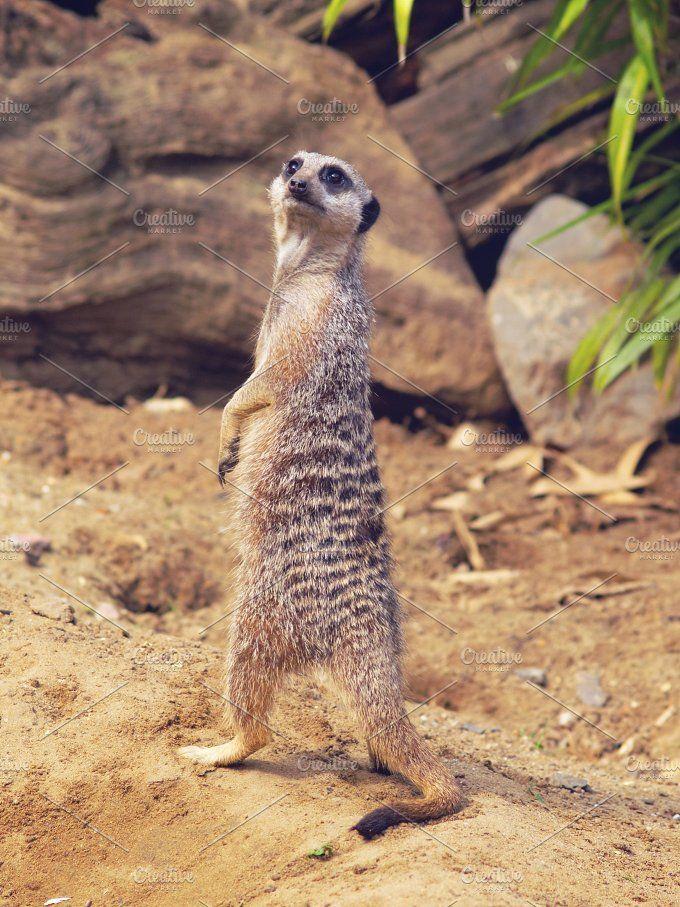 Suricate Photos Suricateまたはmeerkat マングースに属する小型哺乳動物 哺乳動物 ミーアキャット 哺乳類