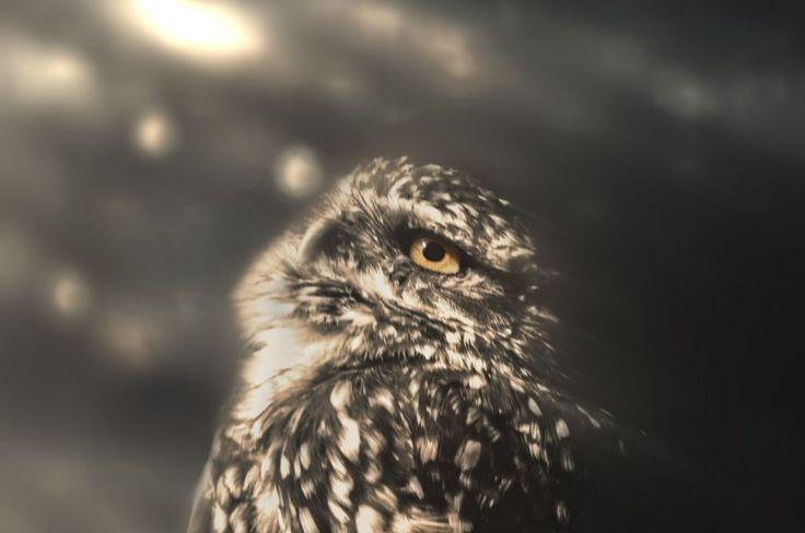 Little Owl stares the sky