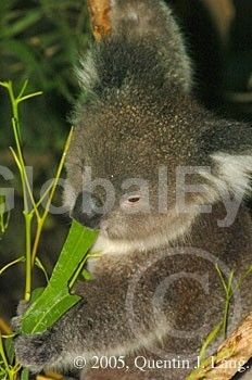 Koala, Phascolarctos cinereus. Koala, Phascolarctos cinereus, eating a gum leaf . Photograph By Quentin J Lang #WildlifePhotography