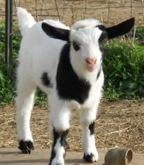 fainting goats for sale - Google Search