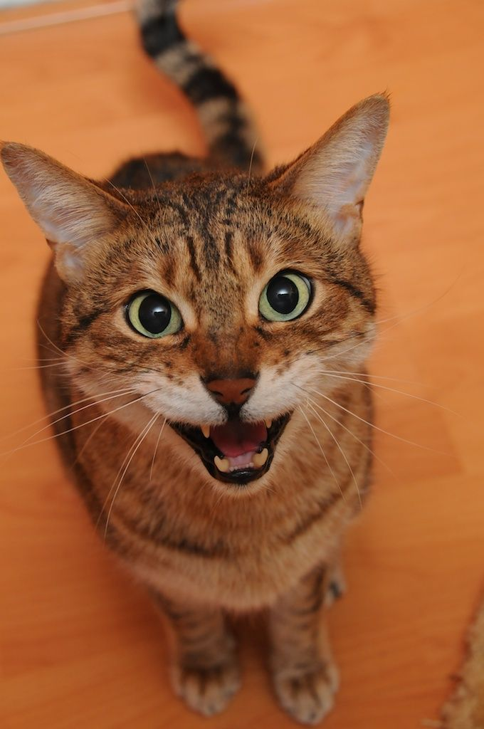 Training a Cat to Be Quiet: My Cat Meows Too Much, What Do I Do? #meow - Find out at - Catsincare.com!