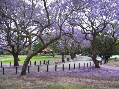 Jacaranda trees are blooming all over San Diego right now. The color looks almost fake. I love them.