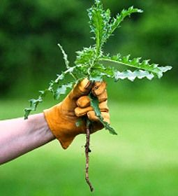 How to kill and control garden weeds with homemade weed killer and other organic natural weed control methods.