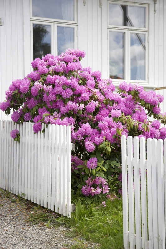 Life Bright: conservatory/ rhodedendrons and picket fence