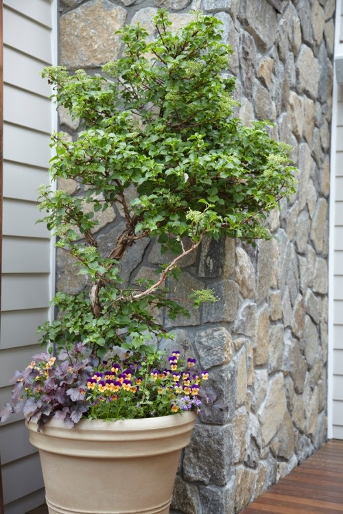 Climbing Hydrangea In A Pot Pretty Garden Containers