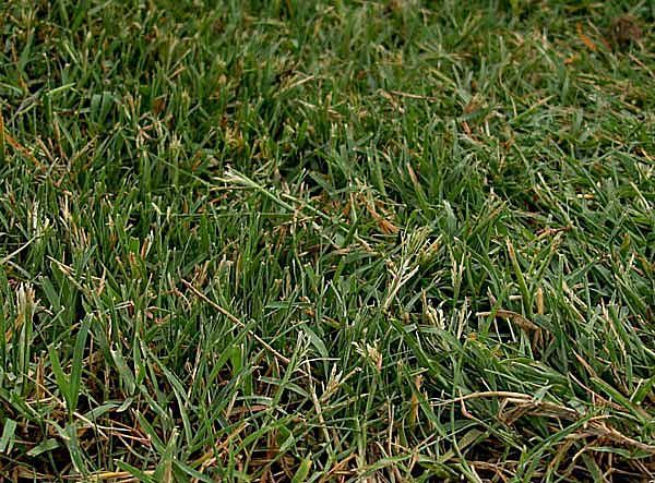 Guide to the 5 Best Grass Types for Arizona Lawns: Grass in Phoenix - Midiron