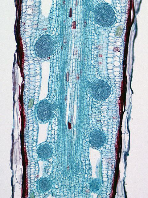 Cross-section of plant roots. Beautiful nature. Microscopic Photography. Science as art.