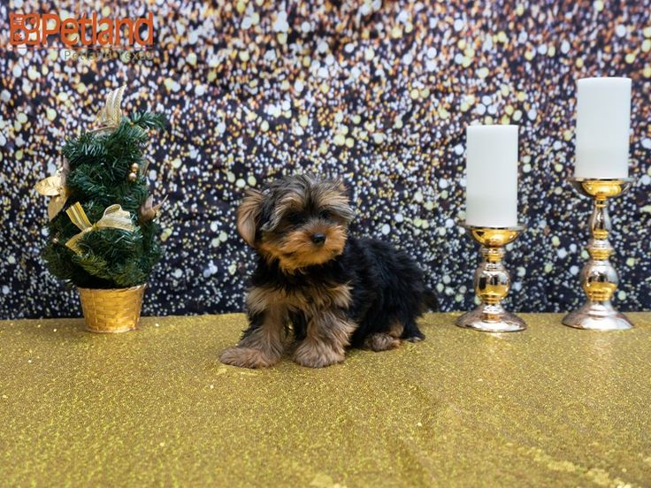 Petland Texas in 2020 Puppy friends, Yorkshire terrier