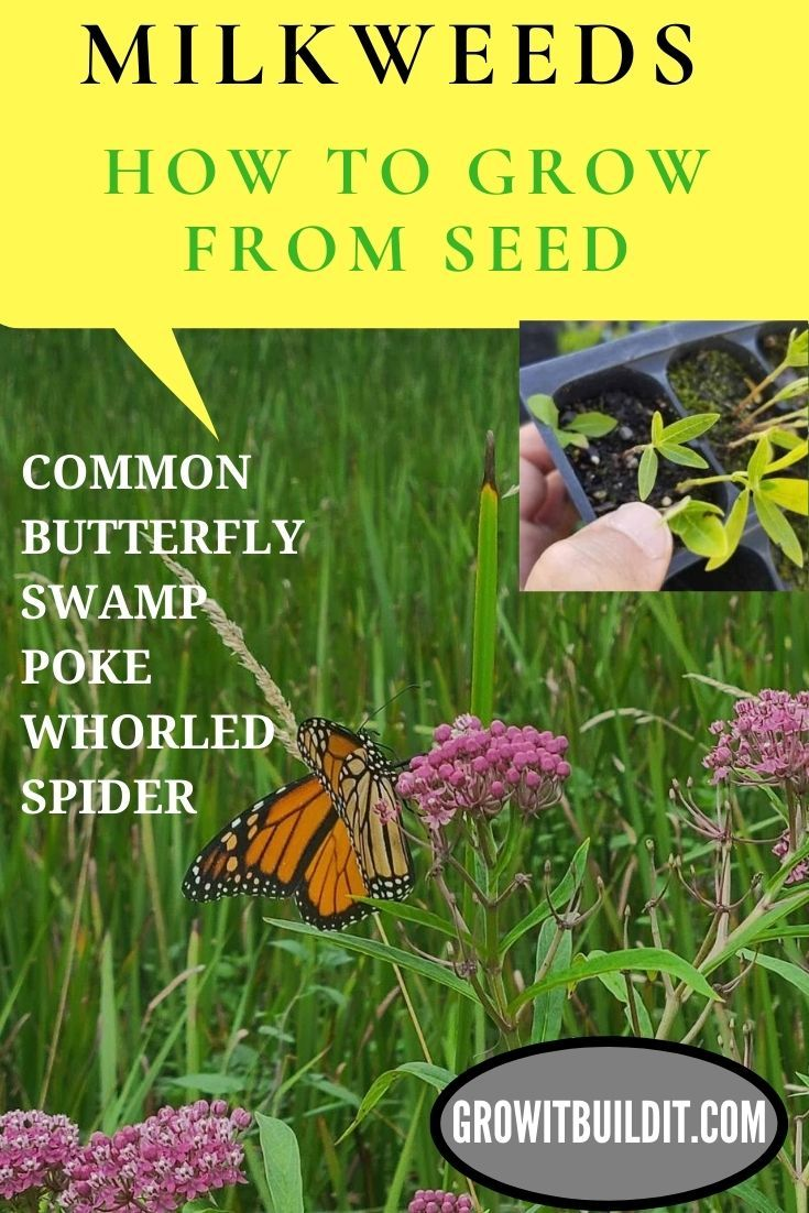 MILKWEED How to Grow from Seed in 2020 Milkweed