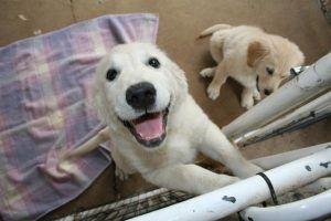 O szkoleniu psów rasy Golden - Golden retriever training - http://www.szkola-doberman.pl/szkolenie-psow/szkolenie-goldena-szalejacy-radosci-golden-retriever/