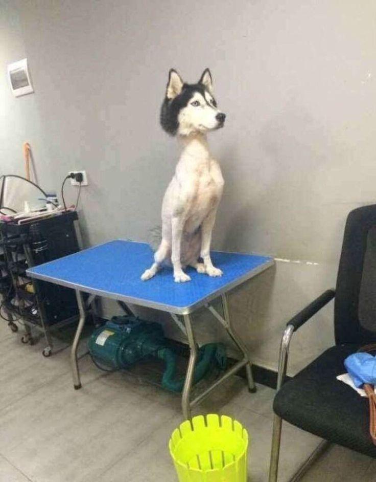 Do not shave Husky! Poor guy looks like a pez dispenser. XD