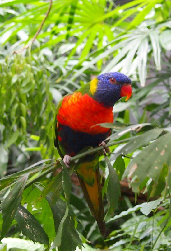 Rainbow Lorikeets are everywhere in Port Douglas, Far North Queensland. #Australia