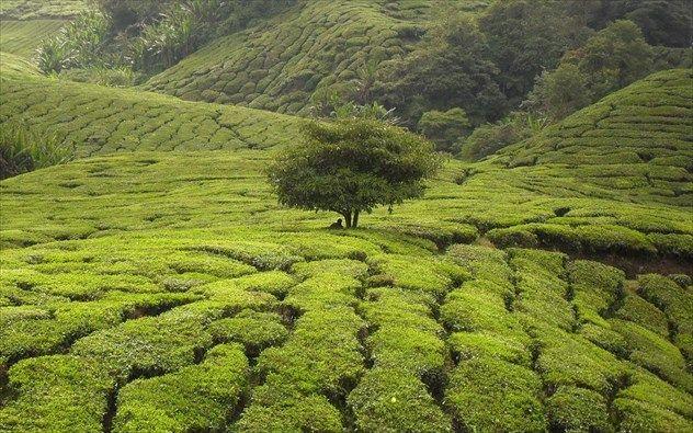 Cameron Highlands Μαλαισία