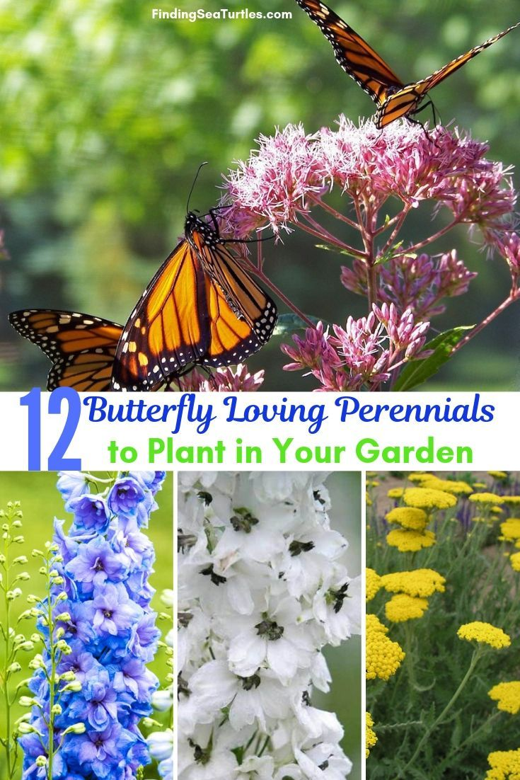 12 Perennials That Butterflies Find Irresistible Finding Sea Turtles Butterfly Garden Design Butterfly Garden Plants Perennials