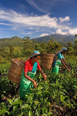Women picking tea on Tea Plantation, Nuwara Eliya, Hill Country, Sri Lanka. #VisitSriLanka