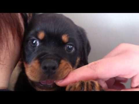 【ヤバイ!キュン死する】萌え〜♪超かわいい♪ロットワイラーの赤ちゃん(Cute puppy /귀여운 강아지 / chiot mignon / ...