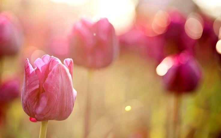 Light Bokeh Spring Pink Tulips Flowers HD Wallpaper ...
