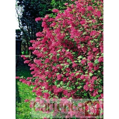 Porzeczka krwista (Ribes sanguineum)