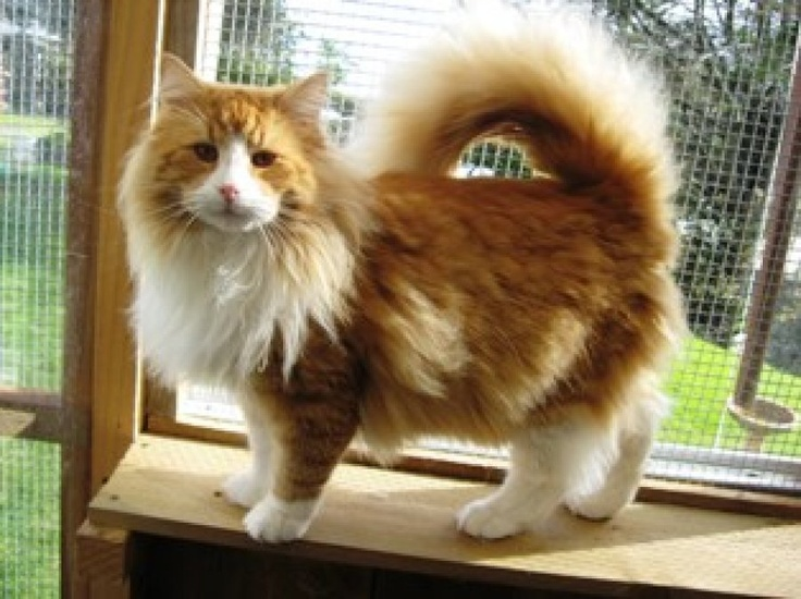 red-norwegian-forest-cat | Dream Menagerie | Pinterest