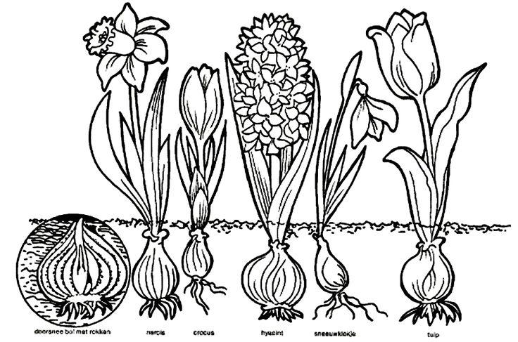 Kleurplaat bloembollen