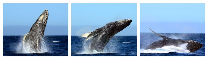 cabo whale watching tours Whale Watching Cabo San Lucas