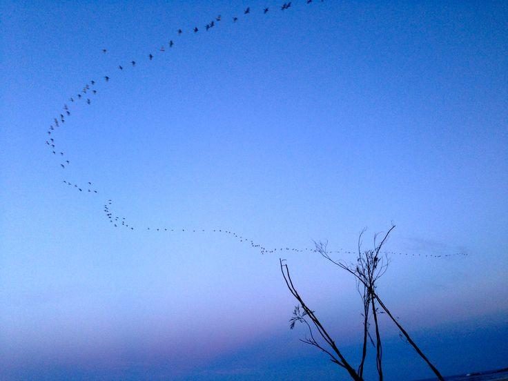 #LandArtBiennale Cha Davenport  A thread of sacred ibis over Lookout Beach