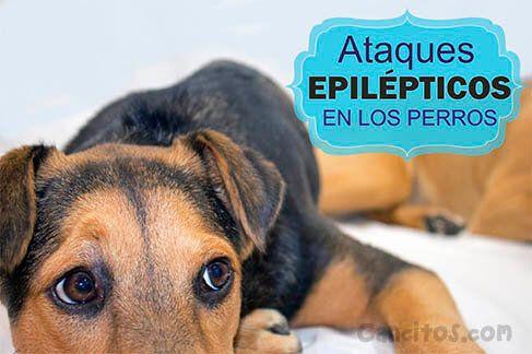 Los ataques epilépticos en los #perros pueden tratrse siempre y cuando sigas estas efectivas recomendaciones.