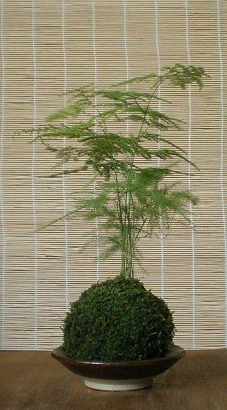 Japanese Moss Ball Bonsai Kokedama Asparagus Fern by arkwoodsigns