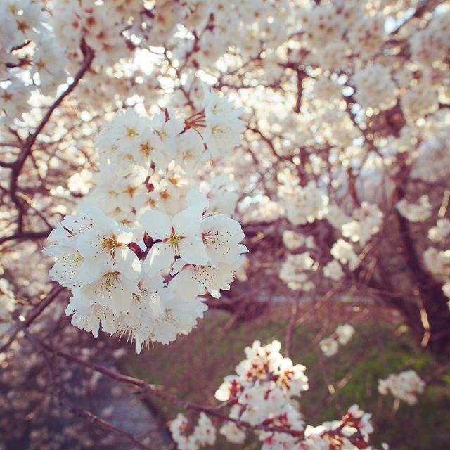 【dr_he】さんのInstagramをピンしています。 《寒いの飽きたので早くあったかくなって欲しい…。 今日は一年前に四国撮影手伝ってもらったイケメンと中国でたぶん大富豪になって帰った来たイケメンのふたりと再会予定。 #桜 #cherryblossom #四国 #愛媛  #喜多郡 #内子町 #ehime #花 #flower #plants #pink #春 #spring #6am》