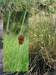 Engsiv, Knopsiv – Juncus conglomeratus. Man kan naturligvis flette med meget andet end med Søkogleaks - Scirpus Lacustris. Søgræs. Navnet søgræs er egentlig i handlen betegnelse for spunden siv eller stararter. Søkogleaks (Scirpus Lacustris) kan blive 2,5 meter og vokser på vanddybder indtil 2 meter. Findes ved de fleste søer og åer i store bestande. De svampede stængler har småkårsfolk anvendt til fletning af mangfoldige redskaber, både til hjemmet og til videresalg. Her kan bl.a. nævnes…
