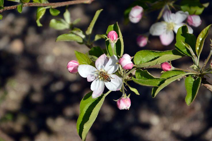 Le api nel meleto: sentinelle di territorio e prezioso aiuto nei campi. - Girovagando in Trentino