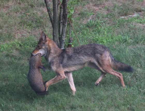 44 Best Images About Coyote Attacks On Our Pets Amp On